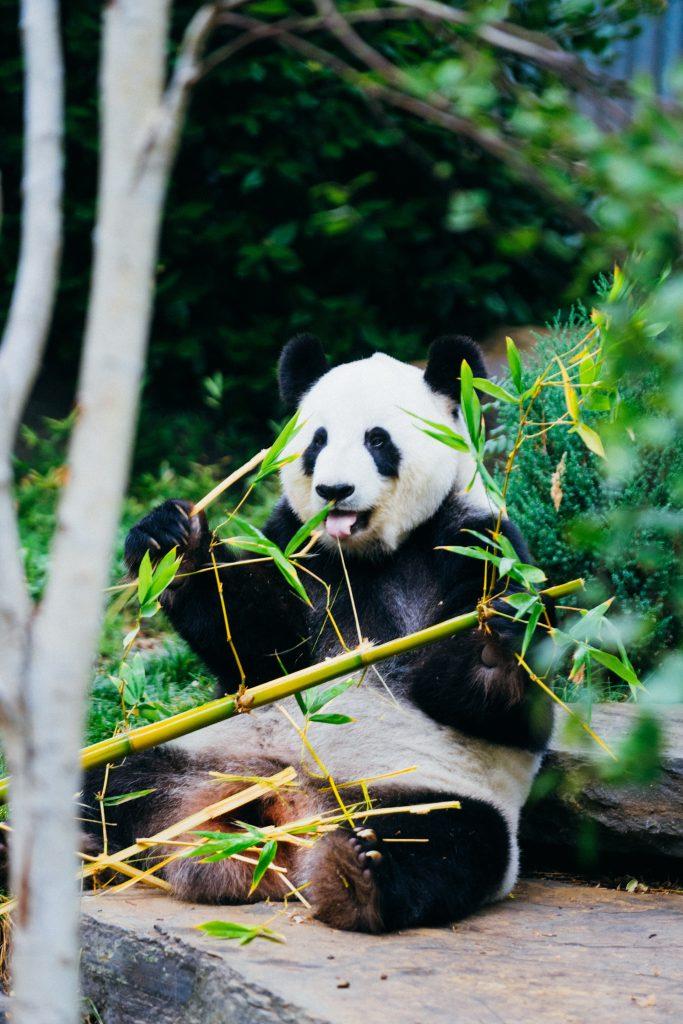 panda zoo dyr (Foto: Unsplash)