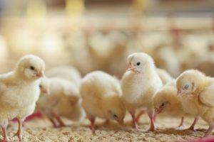 kylling kyllinger (Foto: PR)