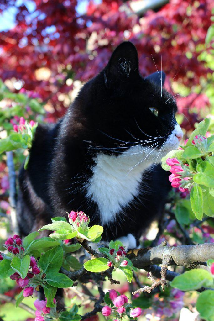 kat æbletræ have (Foto: Unsplash)