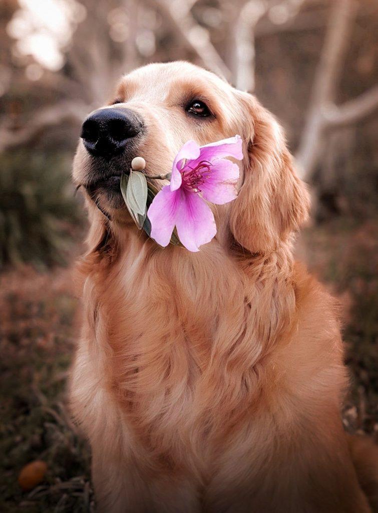 hund kæledyr golden retriever (Foto: Unsplash)