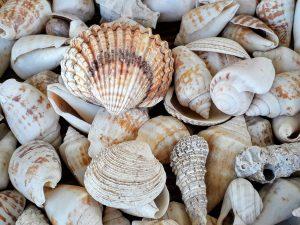 muslingeskaller, muslinger, konkylier (Foto: Unsplash)
