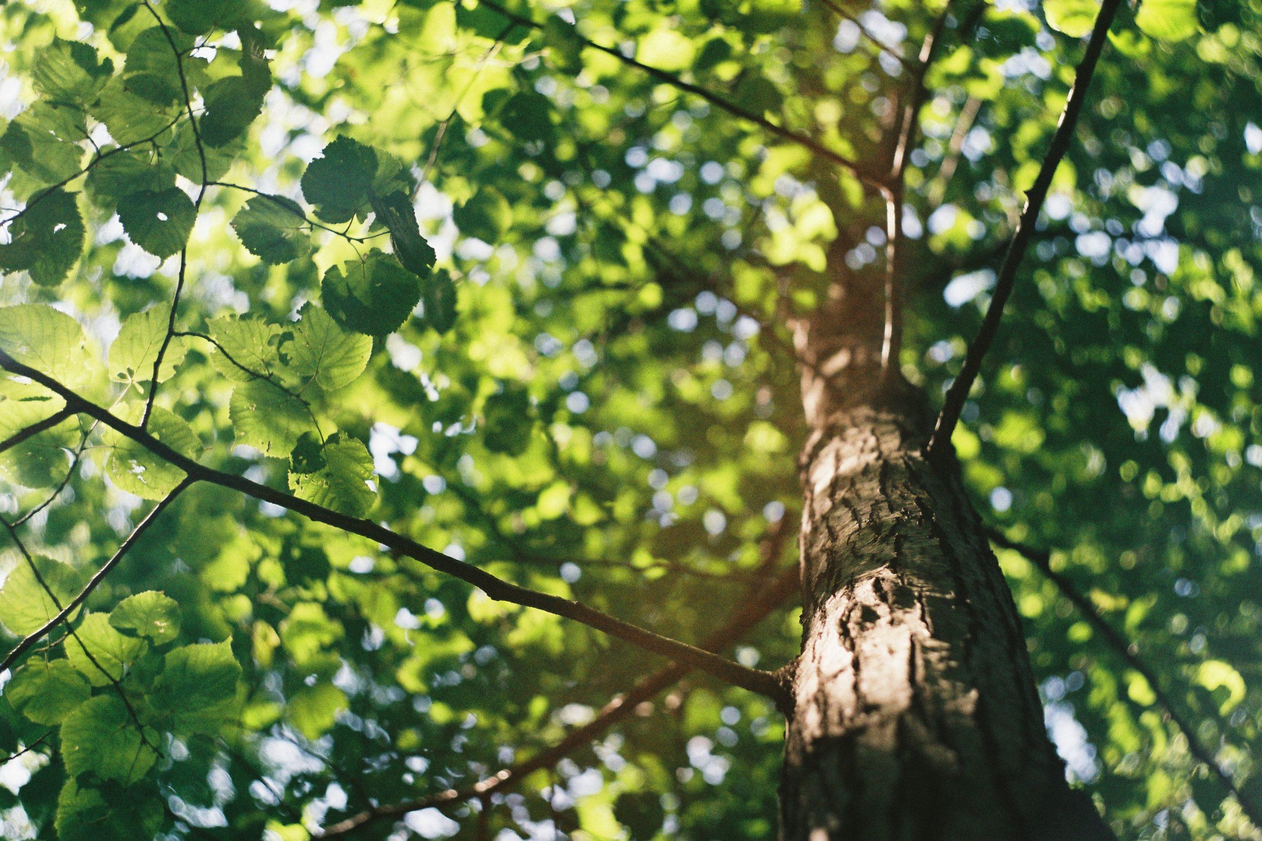 træ, grøn (Foto: Unsplash)