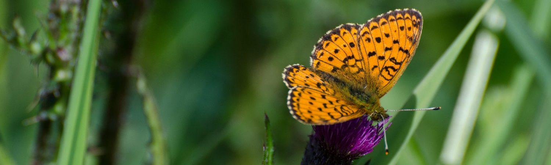sommerfugl Foto: Danmarks Naturfredningsforening)