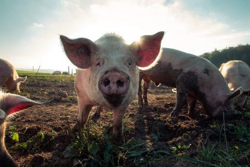 gris, landbrug (Foto: Unsplash)