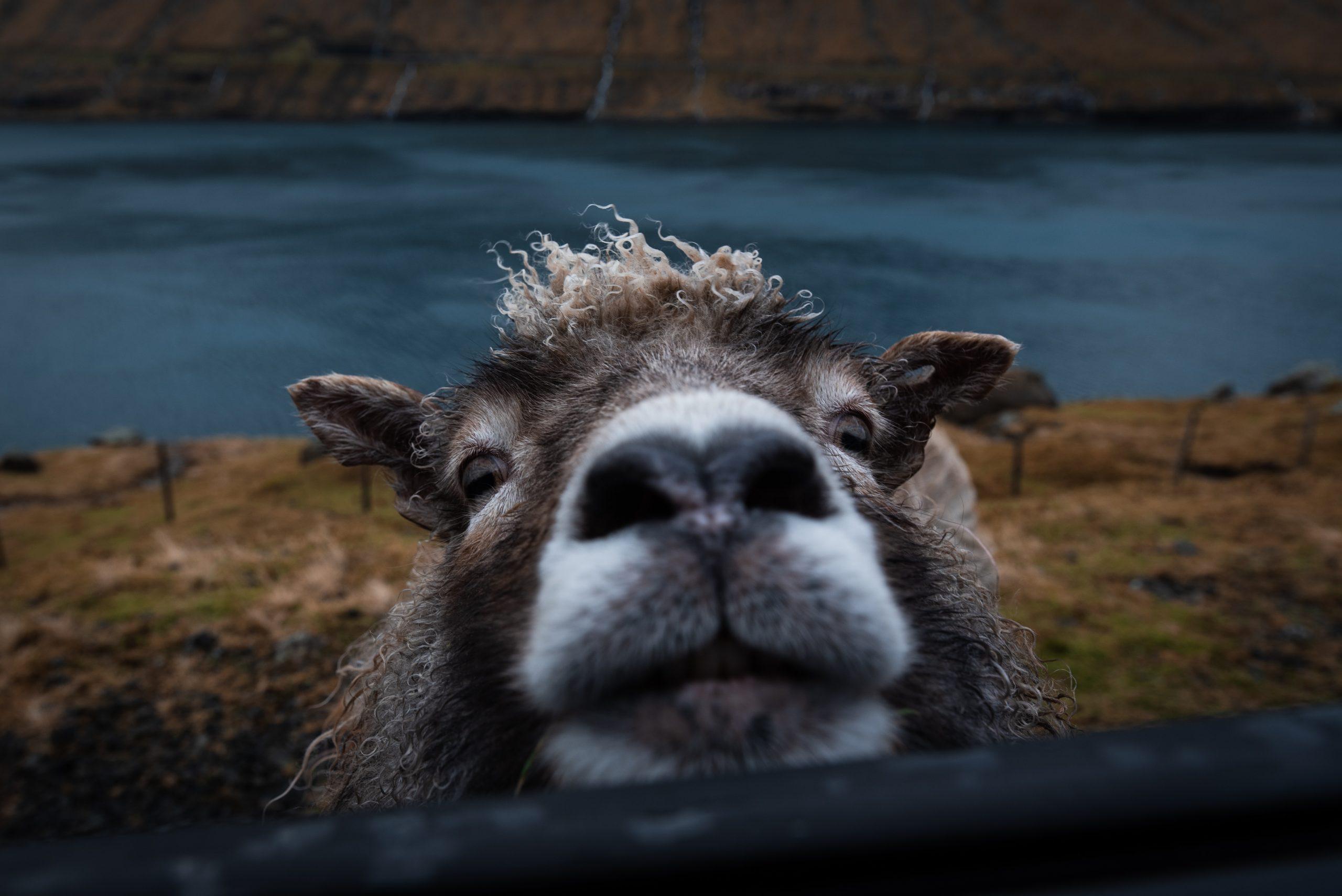 får (Foto: Unsplash)