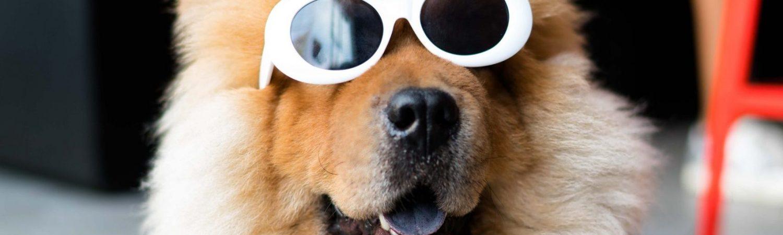 hund dyr solbriller sjov (Foto: Unsplash)