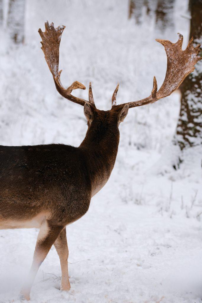 kronhjort dear hjort dyr naturen sne (Foto: Unsplash)