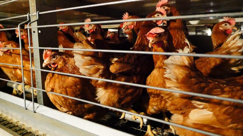 burhøns høns