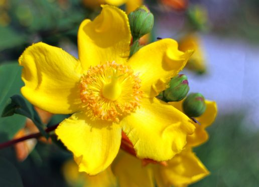 perikon blomst urt