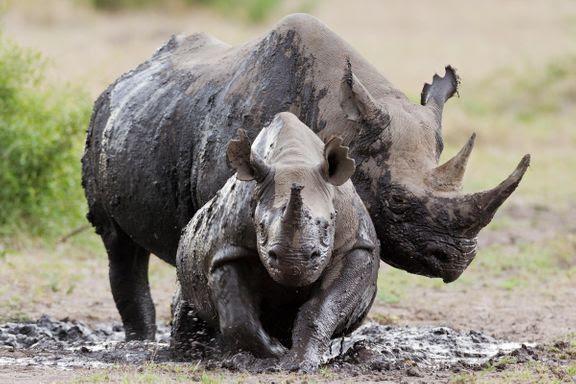 næsehorn truede dyr wwf