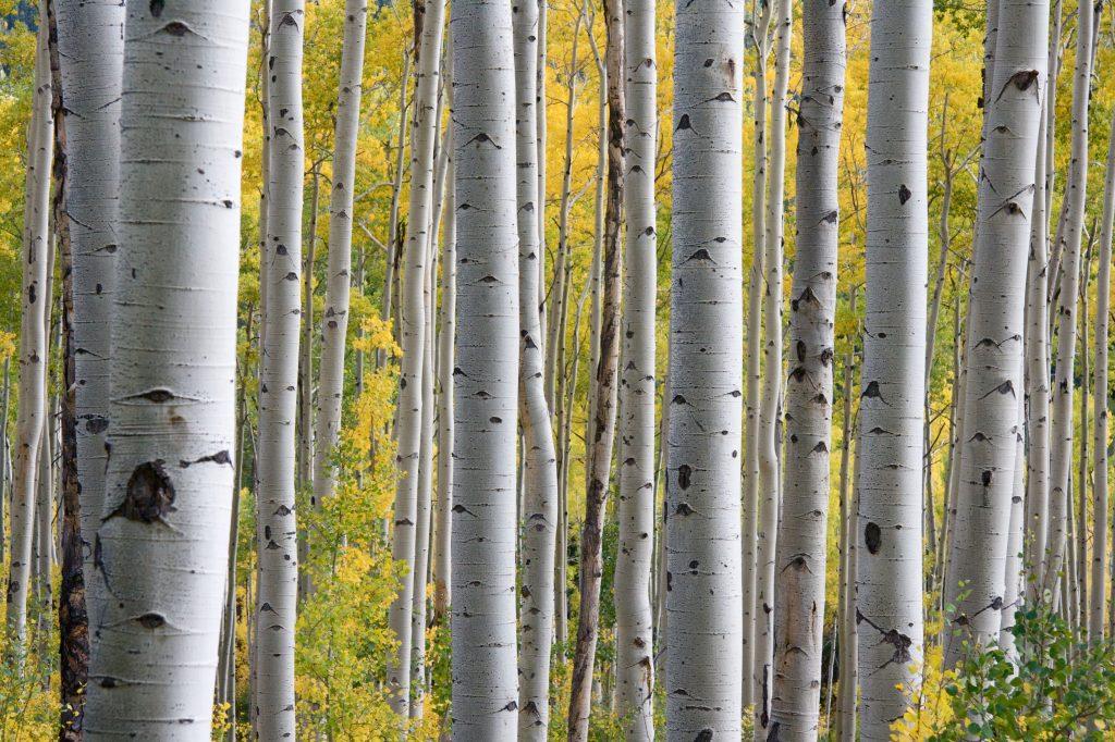 birk pollen birketræer