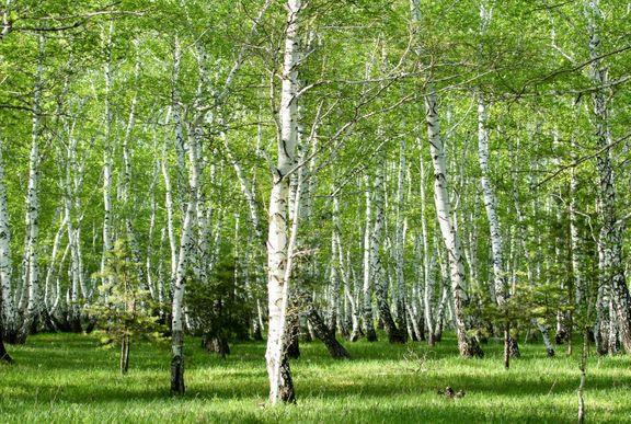 birk biirketræer