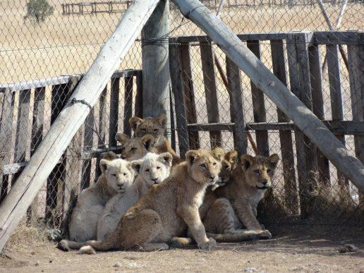 løve løveunger wap