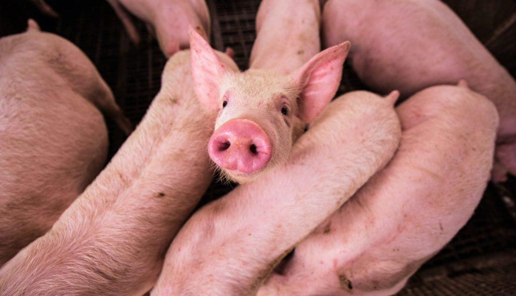 gris grise dyrevelfærd