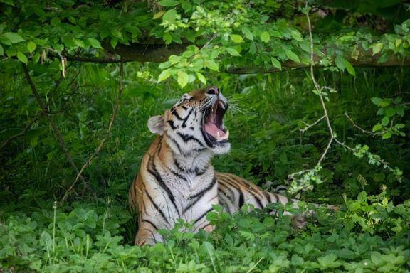 tiger tigerskoven knuthenborg