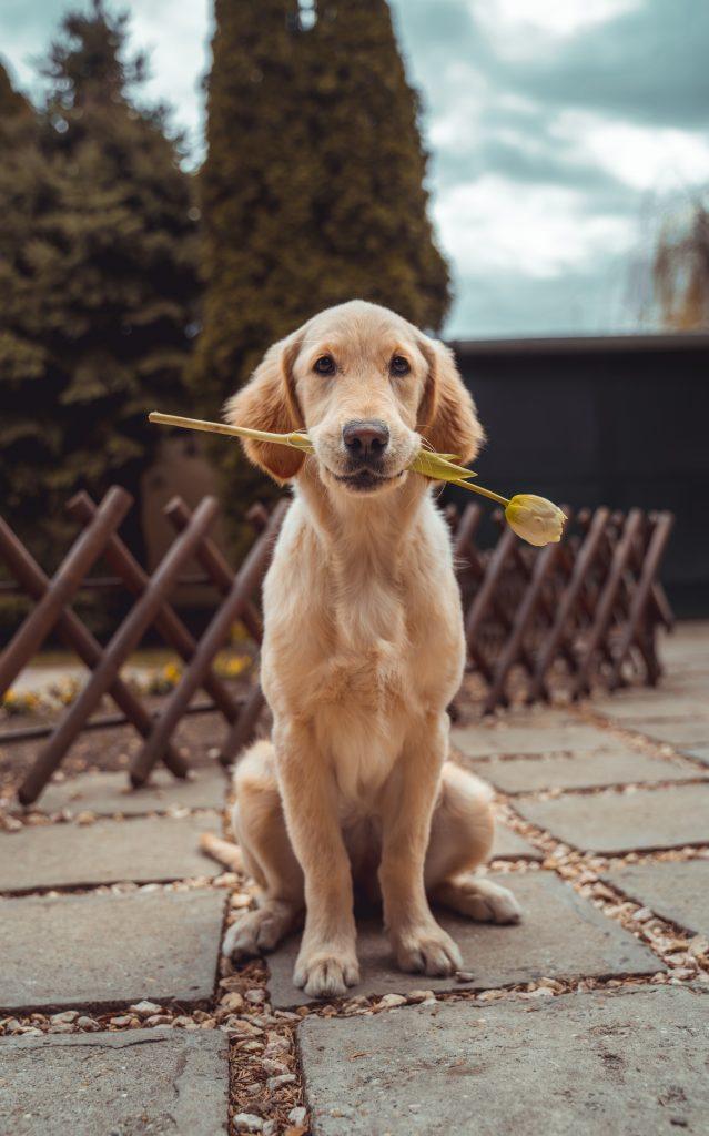 hund kæledyr